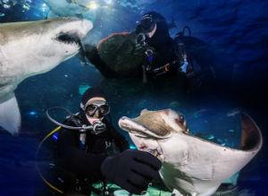 Sub che nutrono squali e razze